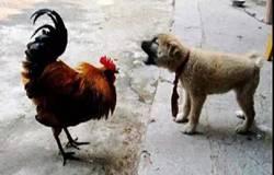 宠物狗一夜咬死邻居900只鸡 鸡窝有漏洞要求减免责任未获支持